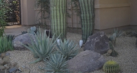 Some beautiful agave at the base of two huge saguaro cactus in this Cave Creek landscaping at the front door.