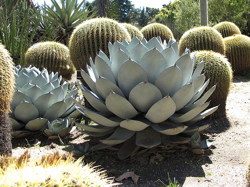 Parry Agave: Gorgeous year around color for Scottsdale & Phoenix xeriscape design.