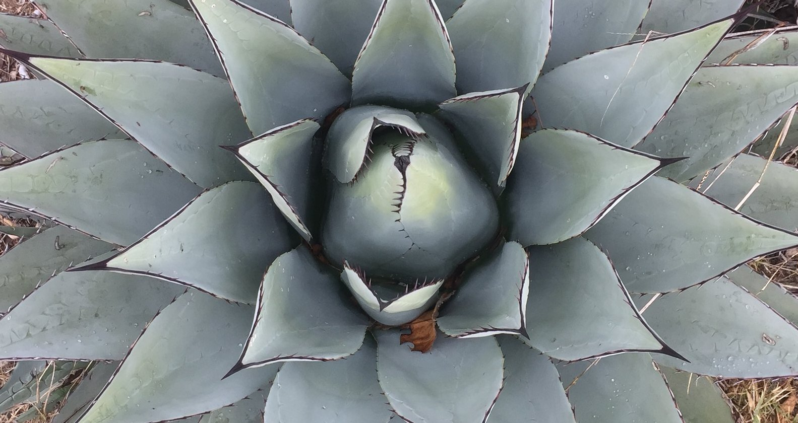 Agave Parryi, one of the best low-water Phoenix landscaping plants.