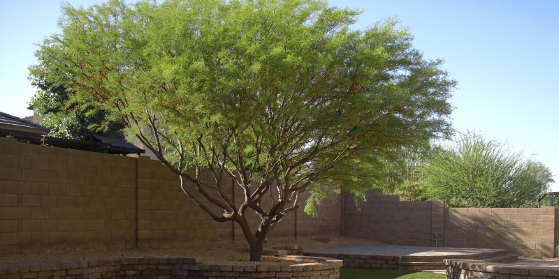 Top 5 Trees For Landscaping Phoenix Amp Scottsdale Desert