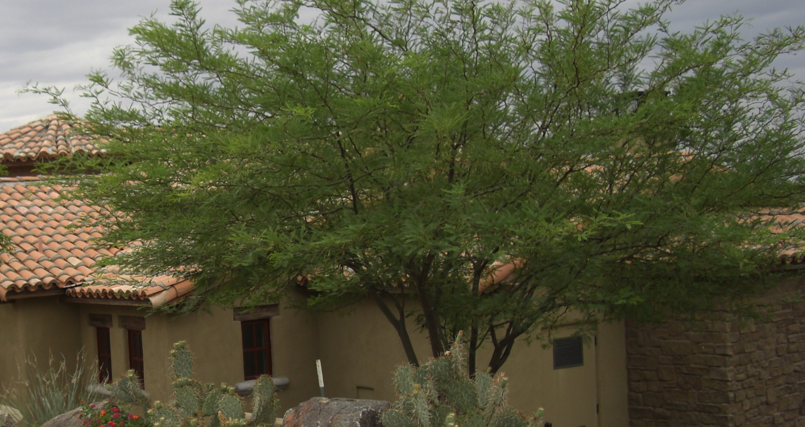 Chilean Mesquire, one of best trees used in landscaping Phoenix.