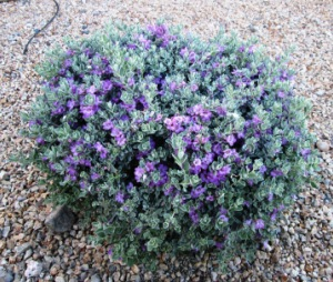 Cenzio: Blue Scottsdale Landscaping Plants