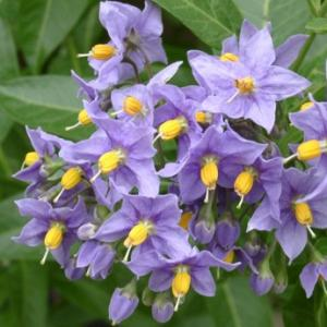 A super popular plant for desert landscaping, the Blue Potato Vine.