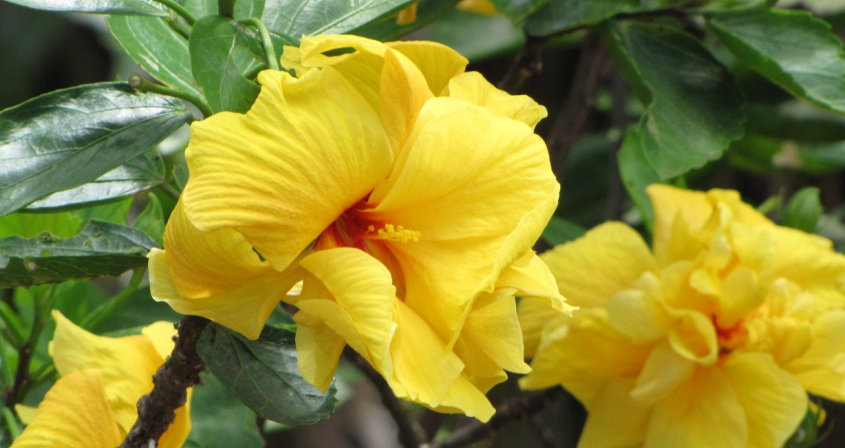 Tropical Phoenix landscaping plants with yellow flowers: Hibscus.