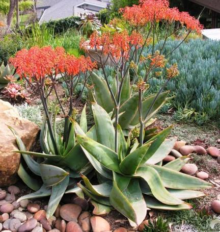 Coral Aloe for Winter Phoenix Landscaping Color