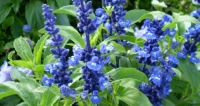 Victoria Blue Salvia: One of the best perennials for Phoenix landscaping.