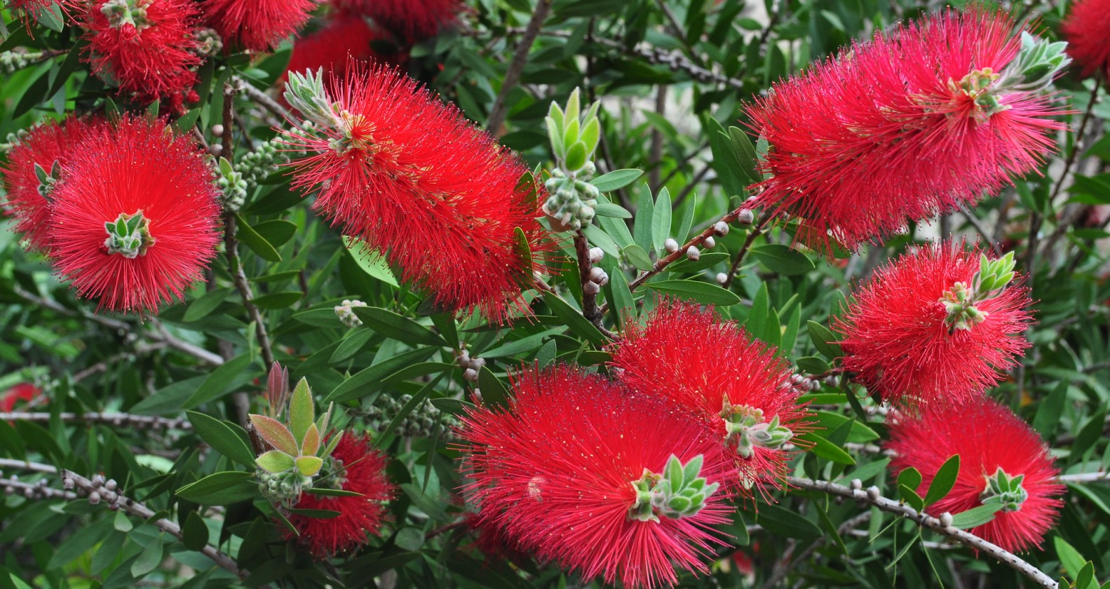 Bottlebrush, one of the true red flowering Phoenix landscaping plants.