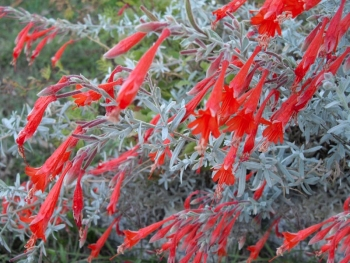 Red Fall Color for Phoenix Landscaping