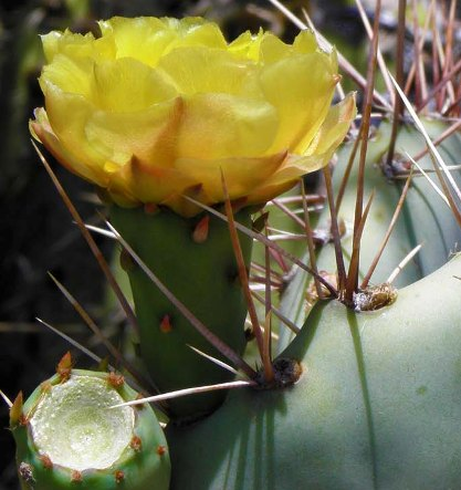 A photo of cactus areoles with spine arrays.