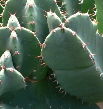 Succulent spines are always isolated to certain parts of the plant, as seen on this Euphorbia rigida.