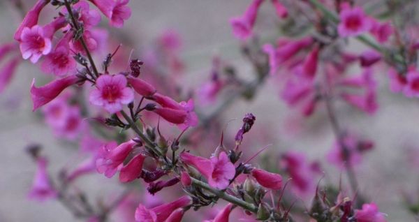 Penstemon parryi is a lovely, rich pink blooming perennials: Phoenix landscaping plants