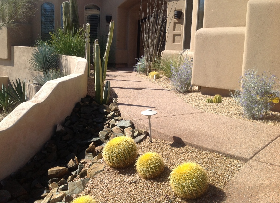 Currently, this landscaping Phoenix client's seasonal color comes from several Texas Sage plants. A lovely foil for the Gold Barrel Cacti and walk coloring.